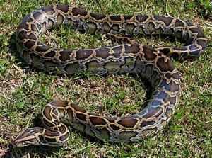 burmese-python-invasive-species