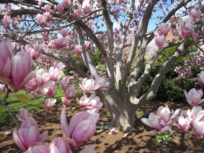 stockvault-magnolia-tree121131